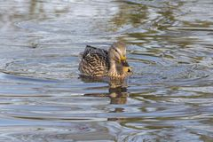 A mallard duck swimming in an icy pond. A female mallard duck swimming in an icy pond on the Cemetery Lake on Southampton Common, Hampshire, UK Royalty Free Stock Photography