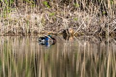 Mallard Duck swimming on a lake. Mallard Duck is swimming on a lake Royalty Free Stock Images