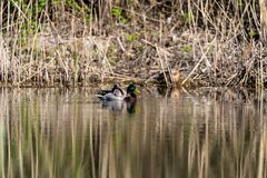 Mallard Duck swimming on a lake. Mallard Duck is swimming on a lake Royalty Free Stock Photo