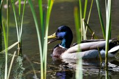 Mallard Duck swimming on a lake. Mallard Duck swimming on lake Stock Photography