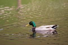 Mallard, duck in a lake. Bird. Mallard, duck swimming in a lake. Duck with green head Stock Image