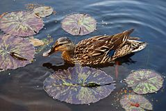 Mallard Duck Stock Photography