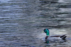 Mallard duck swimming on lake. Mallard duck swimming leisurely on a lake Stock Image