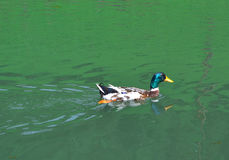 Mallard Duck Swimming in the lake - multicolored photography. Mallard Duck Swimming in the lake in sunlight Royalty Free Stock Photography