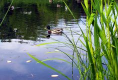 Mallard Duck swimming. This is a Mallard duck swimming on a lake one summer day in a park in Norway Stock Photos
