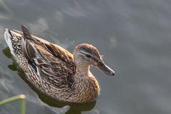 Mallard duck swimming on the lake at summer sun. Close up Royalty Free Stock Photo