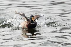 A mallard duck swimming on a lake Royalty Free Stock Photography