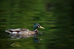 A mallard duck swimming on a lake Stock Images