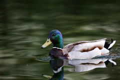 A mallard duck swimming on a lake Royalty Free Stock Photo