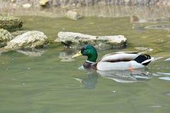Mallard duck swimming Royalty Free Stock Photos