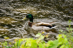 Mallard Duck Swimming. A male mallard duck swimming on the Roanoke River, Roanoke, VA, USA Royalty Free Stock Image