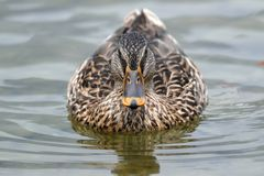A mallard duck. Swimming in the mountain lake Stock Photo