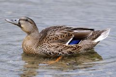 A mallard duck. Swimming in the mountain lake Royalty Free Stock Photos