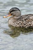 A mallard duck. Swimming in the mountain lake Stock Photos