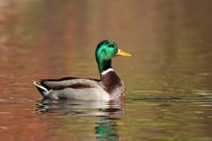 Mallard Duck swimming on orange water in Fall at Dusk royalty free stock image