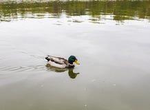 Mallard Duck Swimming In Pond fotografia stock libera da diritti