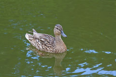 Mallard duck swimming in the pond Stock Photo