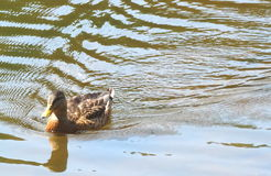 Mallard duck. A duck swimming in a pond Royalty Free Stock Images