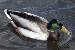 Mallard Duck. Swimming in a pond Royalty Free Stock Photos