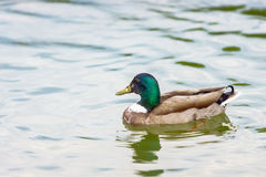 The mallard duck swimming in a pond at Bassin  Octogonal in Tuil Royalty Free Stock Photography