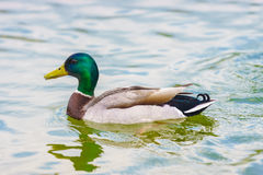 The mallard duck swimming in a pond at Bassin  Octogonal. Stock Images