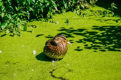 Mallard duck swimming on a pond covered with common duckweed Stock Photo