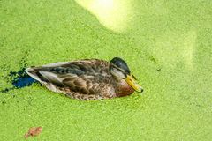 Mallard duck swimming on a pond covered with common duckweed. In summer Stock Images