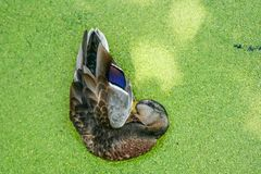 Mallard duck swimming on a pond covered with common duckweed. In summer Stock Photography