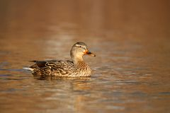 Mallard Duck Swimming on a pond in Fall stock image