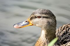 Mallard duck swimming. Portrait of a mallard duck swimming in the water Stock Photography