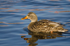 Mallard Duck Swimming in a River Royalty Free Stock Images