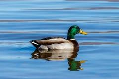 Mallard Duck swimming at Roosevelt Lake, Arizona. Male Mallard Duck drake swimming in Roosevelt lake in Arizona Royalty Free Stock Image