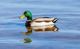 Mallard Duck swimming at Roosevelt Lake, Arizona. Male Mallard Duck drake swimming in Roosevelt lake in Arizona Stock Photo