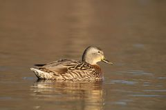 Mallard Duck Swimming sull'acqua dell'oro immagini stock libere da diritti