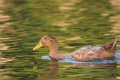 Mallard duck swimming while the sun sets stock image