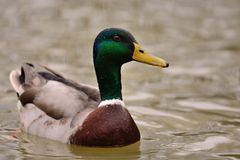 Mallard duck swimming in the water. Close up of a wet mallard duck swimming in a lake Stock Photography
