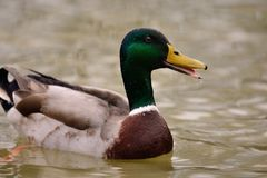 Mallard duck swimming in the water. Close up of a wet mallard duck swimming in a lake Stock Image