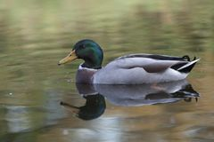 Mallard Duck swimming in water closeup Royalty Free Stock Photography
