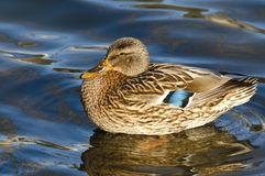 Mallard Duck Swimming in the Water. Female Mallard Duck Swimming in the Water Royalty Free Stock Photography