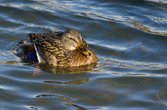 Mallard Duck Swimming in the Water Royalty Free Stock Photo