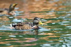 Mallard duck swimming on water surface. Mallard duck ( anas platyrhynchos ) swimming tranquil on water surface Royalty Free Stock Photography