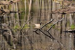Mallard Duck Swimming in a Woodland Marsh. A mallard duck swimming in a woodland marsh located in Virginia, USA Royalty Free Stock Images