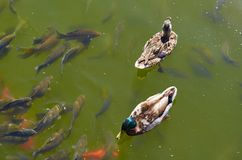 Mallard duck swims in the pond with fishes. Mallard duck swims in the pond with fishes Royalty Free Stock Photo