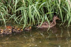 Mallard duck swims in the water. With their young Stock Images