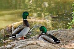 Mallard Duck. Taken at Riverside California fairmont park Royalty Free Stock Photography