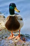 Mallard Duck. Taken at Riverside Fairmont park Royalty Free Stock Photo