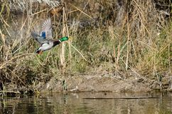 Mallard Duck Taking Off d'Autumn Pond photographie stock