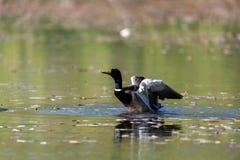 Mallard Duck taking off at a lake. Mallard Duck taking off at the lake Royalty Free Stock Photography