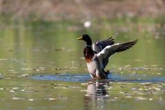 Mallard Duck taking off at a lake. Mallard Duck taking off at the lake Royalty Free Stock Photos