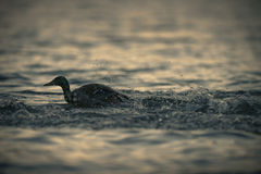 Mallard Duck Taking Off From Lake At Twilight. A male mallard duck is shown in semi silhouette as he gathers speed on the ginting water to take off into the Stock Photo